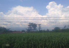 Indonesia-Java East Corn 20171216_111449 LG (CanadaGood) Tags: asia asean seasia indonesia indonesian java javanese eastjava jawatimur tulungagung agriculture corn powerlines canadagood 2017 thisdecade color colour cameraphone