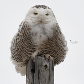 Snowy Owl ~ Right here in my very own County!