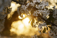 Golden spring (frantiekl) Tags: spring gold flower blossom bloom sunlit tree golden leaf cherry dof bokeh serene happy dream nature springtime flora evening sunny flowers blovice jaro