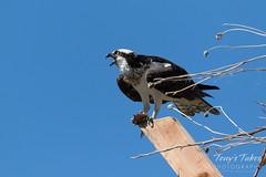 Female Osprey warning her mate