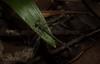 Common Flatwing (dustaway) Tags: arthropoda insecta odonata zygoptera austroargiolestes damselfly australianinsects rainforest rprr rotarypark lismore northernrivers nsw nature australia