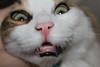 Weird Cat (Been Around) Tags: img9558 cat katze tier animal bulgarien osiris eu europe europa великотърново velikotarnowo българия bulgaria weird verrückt zähne tooth teeth weirdcat white nose nase schnurrbart fell kater