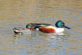 Green-winged Teal And Northern Shoveler 18-0311-8179