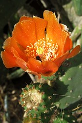 flower with the visitor ;) (green_lover) Tags: opuntia flower flowers blossom cactus tenerife canaryislands spain nature plants orange 7dwf flora