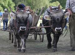 Pferdestark (ow54) Tags: pferdestark ochse ochsen ox kühe