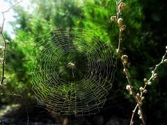 the spider's web..(not www) (panoskaralis) Tags: spider net web spiderweb nature bugs insect trees pine macro outdoor lesvos lesvosisland mytilene green greece greek hellas hellenic greeknature greekspring