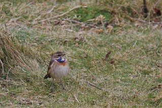 White-spotted Bluethroat – Luscinia svecica cyanecula (first winter male)   The first bird