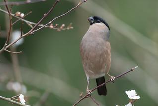 Bullfinch-271