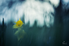 (Antoineos G.) Tags: fleur flower ombre lumiere sombre nature jonquille