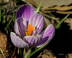 Spring comes little by little (Judecat (Ready for Spring!)) Tags: nature mrstripycrocus crocus bloom spring 1stdayofspring