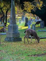 Graveyard Deer (dejamon) Tags: deer graveyard urbanwildlife