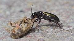 Poecilus lepidus M (kahhihou) Tags: taxonomy:kingdom=animalia animalia taxonomy:phylum=arthropoda arthropoda taxonomy:subphylum=hexapoda hexapoda taxonomy:class=insecta insecta taxonomy:subclass=pterygota pterygota taxonomy:order=coleoptera coleoptera taxonomy:suborder=adephaga adephaga taxonomy:family=carabidae carabidae taxonomy:subfamily=pterostichinae pterostichinae taxonomy:tribe=pterostichini pterostichini taxonomy:subtribe=pterostichina pterostichina taxonomy:genus=poecilus poecilus taxonomy:species=lepidus taxonomy:binomial=poeciluslepidus poeciluslepidus smukmetaljordløber taxonomy:common=smukmetaljordløber