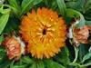 Helichrysum bracteatum (Jesús 56) Tags: bulaklak flower زهرة fleur flor fiore цветочные λουλούδι 花 çiçek flors flores flowers fleurs fiori blumen