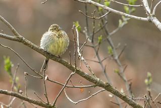 Bruant zizi - Emberiza cirlus (Domaine Des Oiseaux, Ariège) 25 mars 2018 [EXPLORE]