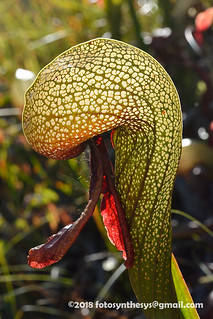 Darlingtonia californica DSC_5133