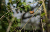 Troglodyte mignon (JeanJoachim) Tags: troglodytemignon troglodytestroglodytes eurasianwren passeriformes troglodytidae oiseau bird vogel aves uccello fågel fugl pássaro バード lintu птица ptak pentaxk10d zaunkönig smcpentaxf300mmf45edif