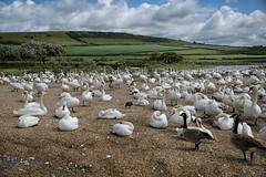 The Swannery, Abbotsbury, Dorset (crafty1tutu (Ann)) Tags: travel holiday 2017 unitedkingdom uk england dorset swannery abbotsford animal bird swan white geese canadiangeese crafty1tutu canon5dmkiii canon24105lserieslens anncameron naturescarousel coth coth5
