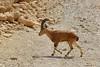 Nubischer Steinbock (ludwig_zimmerling) Tags: syrischersteinbock steinbock animal tier desert wüste natur nature capranubiana goat eingedi israel nubianibex nubian ibex