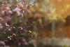 Blossom Forsythia (jillyspoon) Tags: blossom forsythia pink yellow garden colours spring signsofsigns springcanon 70 dcanon70200eosef70200multiple exposuredouble exposure petals tree shrub branches easter happyeaster canon