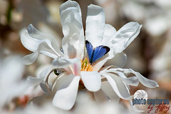 Royal Star Magnolia Blue visiting stamen (PhotoCapturesbyJeffery) Tags: beauty beladonna bloom blooming blossom botanic botanical botany bright bud color decoration decorative elegance element flora floral flower garden horticultural horticulture leaf magnolia natural nature ornamental outdoor outdoors petal plant royal royalmagnoliastar seasonal spring springtime tree white tennessee middletn photocapturesbyjeffery jefferyjohnson tn blue insect butterfly moth
