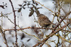 Dunnock (johnlgardiner) Tags: dunnock bird wildlife nature hedge wiltshire