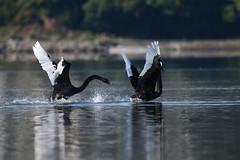 Pauatahanui Inlet (whitebear100) Tags: pauatahanui pauatahanuiinlet porirua wellington newzealand nz northisland 2018 blackswans
