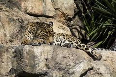Onca (ucumari photography) Tags: ucumariphotography rangeofthejaguar jacksonville fl florida zoo march jaguar pantheraonca animal mammal dsc1989 2018
