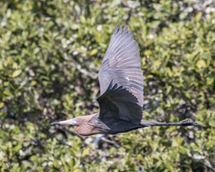 Reddish Egret Inflight (dbadair) Tags: outdoor seaside shore sea sky water nature wildlife 7dm2 ocean canon florida bird desoto