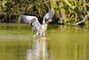 Water skier (Paul Wrights Reserved) Tags: greylag greylaggoose goose bird birding birdphotography birds birdwatching birdinflight birdlanding skiing water waterfowl waterbird