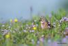 Tête de linotte (Jacques GUILLE) Tags: linottemélodieuse domainedesoiseaux oiseau 09 ariège cardueliscannabina commonlinnet fringillidés mazères passériformes bird occitanie france fr