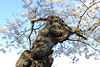 entwife (garden beth) Tags: cherrytrees cherryblossoms peak 2018 washingtondc tidalbasin flowers spring ents entwives tolkien