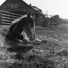 Fresh one (ziga.sparemblek) Tags: fomapan blackwhite horse hay rolleicord va epson v600 100 6x6 medium format fomadon lqn hand developed film scanned