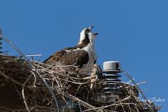 Male Osprey yawning
