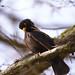 Crazy blackbird