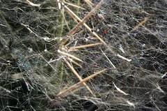 Spinnweben um Kaktus * Cobwebs around cactus * Telarañas alrededor de cactus *   . P1270062 (maya.walti HK) Tags: 100418 2010 cobwebs copyrightbymayahk flickr natur naturaleza nature panasonicfz28 spiderwebs spinnweben telarañas