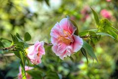Karma Camellia (Non Paratus) Tags: camellia flowers pink bokeh depthoffield huntingtongardens sanmarino