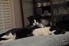 tuxedos required (rootcrop54) Tags: idaho male tuxedo tina female cat cats togetherness restaurantchina neko macska kedi 猫 kočka kissa γάτα köttur kucing gatto 고양이 kaķis katė katt katze katzen kot кошка mačka gatos maček kitteh chat ネコ