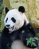 panda (hcc-verhoef) Tags: panda animals zoo tree bamboo rhenen ouwehands