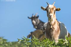 Ziegen in Oberschwaben #2 (PADDYSCHMITT.DE) Tags: oberschwaben oberschwabenländle ziegen ziege bock ziegenbock tiere frühling