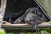 Fisher (TGPhotography_au) Tags: pentaxk1 pentax k1 pentaxdfa150450zoom tarongazoo animals birds tiger meerkat g