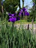 Richmond Iris (Stabbur's Master) Tags: richmond richmondva flowers blooms iris