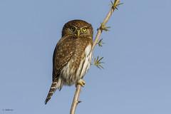 Northern Pygmy-Owl / Chevêchette naine (shimmer5641) Tags: glaucidiumgnoma northernpygmyowl chevêchettenaine owlsfamily britishcolumbiacanada birdsofbritishcolumbia birdsofnorthamerica raptor birdsofwesternnorthamerica