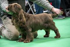 GAZ_1223 (garethdelhoy) Tags: dog sussex spaniel crufts 2018 kennel club