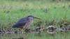 striated heron (Butorides striata) -4390 (rawshorty) Tags: rawshorty birds nsw australia portmacquarie