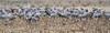 Sandhill Cranes, Snively Road, West Richland, Washington (jlcummins - Washington State) Tags: sandhillcrane washingtonstate westrichland wildlife nature canon bentoncounty