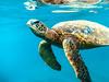 Underwater Friends (Thomas Hawk) Tags: america hawaii maui usa unitedstates unitedstatesofamerica wailea waileaelua seaturtle turtle underwater kihei us fav10 fav25 fav50 fav100