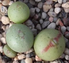 Conophytum taylorianum ssp. ernianum