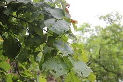 Mallotus polycarpus_SGNP Shilonda1 (Alka Khare) Tags: mallotus euphorbiaceae