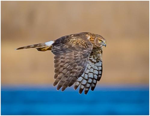 26 - Harrier Hawk in Flight