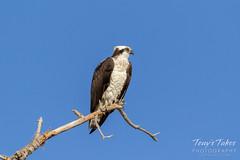 Male Osprey keeping watch
